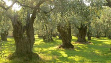 Storia dell'olivo